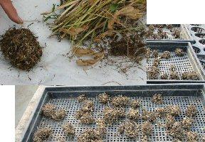 ラナンキュラスの栽培方法